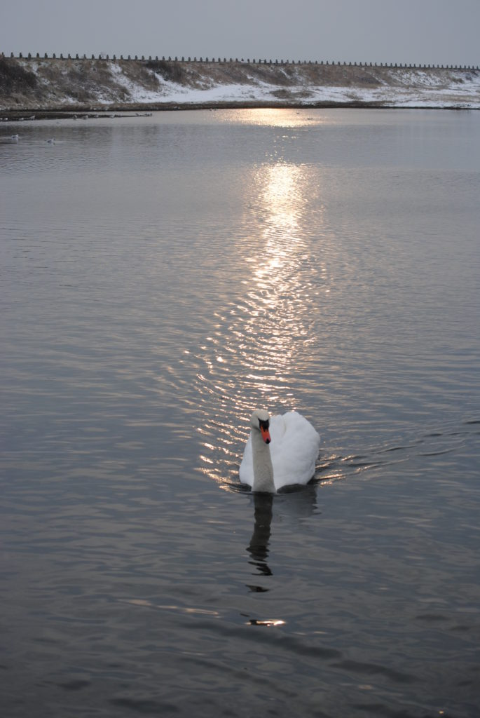 Swan at Moonlight