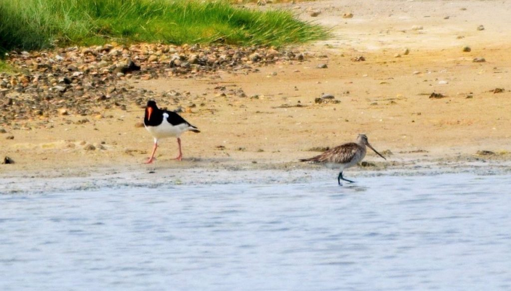 Bar-tailed Godwit & a Snipe