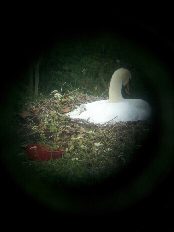 Cygnet May 2018